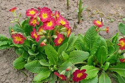 Primrose plant or Primula vulgaris in Latin blooms profusely in April on the ground in flower bed, rich purple petals and green leaves in bright sunlight, cultivated culture