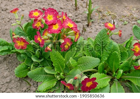 Primrose plant or Primula vulgaris in Latin blooms profusely in April on the ground in flower bed, rich purple petals and green leaves in bright sunlight, cultivated culture Сток-фото ©