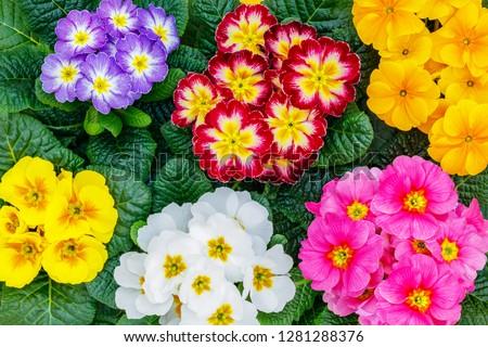 Primrose Primula Vulgaris blossom. Multicolor Country Garden Primula Flowers, top view. Vivid flowerscape flat lay. Live wall of Primula Primrose  Multicolored flowers