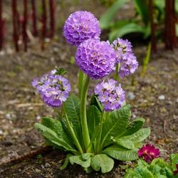 Primula denticulata purple in springtime. Pink Primula denticulata (Drumstick Primula) in garden