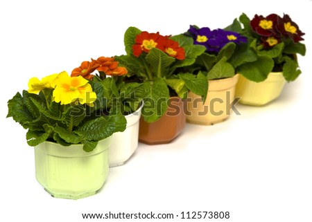 Primula flowers in pots on a white backgound