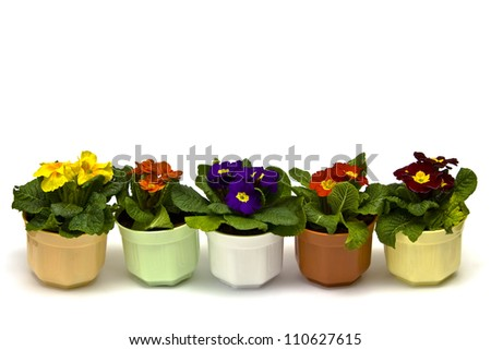 Primula flowers in pots on a white background
