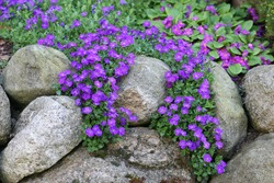 Primula flowers on the rockery