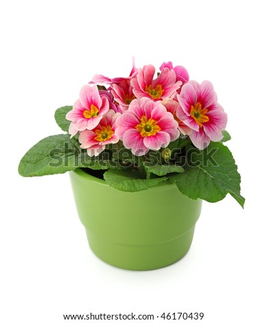 Primula  in green pot isolated on white background