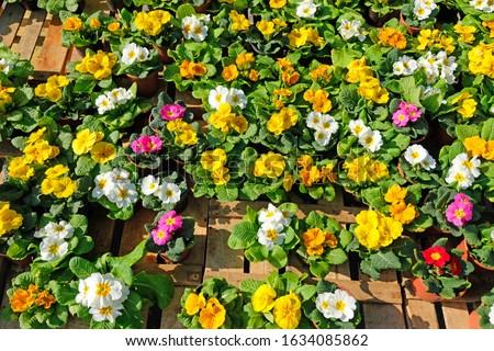Primula Primrose Flowers  in different colors Stok fotoğraf ©