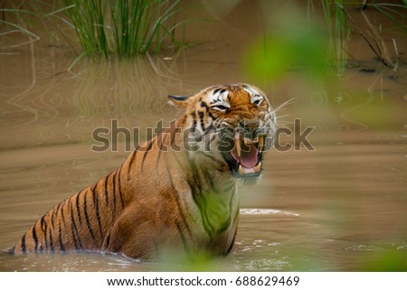 Prince Tiger Roar #688629469