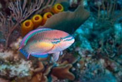 Princess Parrotfish in the waters of Little Cayman