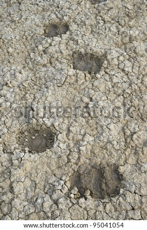 Prints of sheep's hooves in dried soil