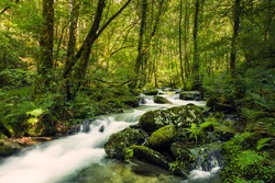Pristine stream in a virgin forest. River Sesin in the Natural Park of As Fragas do Eume in Galicia, Spain.