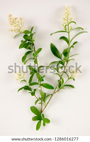 Privet botanical board #1286016277