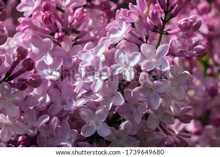 Prized for its delightful fragrance, Syringa Vulgaris (Common lilac) is a mainstay of the spring landscape.