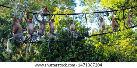 Proboscis monkey / Nasalis larvatus / Long-nosed monkey crossing the Kinabatangan river, in Sabah, Malaysia