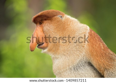 Proboscis monkey (Nasalis larvatus) or long-nosed monkey, known as the bekantan in Indonesia, is a reddish-brown arboreal Old World monkey with an unusually large nose. It is endemic to Borneo #1409857211