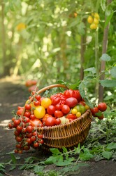 Process of harvesting tomatoes. Harvesting organic tomatoes in greenhouse. Many different tomato in summer day.