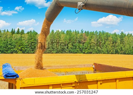 process of loading wheat grains from pipe of combine harvester on field in forest