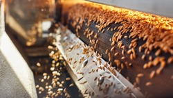 Process of machine drying and antibacterial treatment of freshly picked wheat grains on the factory