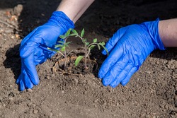 process of planting a plant in the soil for grow vegetables, a gloved hands bury a hole with eco pot with tomato seedlings, a closeup on theme of agriculture farming outdoors on spring sunny day.