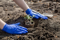 process of planting a plant in the soil for growing vegetables, a gloved hands bury a hole with eco pot with tomato seedlings, a closeup on theme of agriculture farming outdoors on sunny day.
