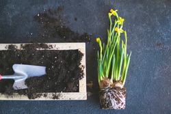 Process of repotting fresh narcissus plant with tubers in wooden box with a dirt at home. Planting, gardening concept. Blooming spring seasonal flower. Top view, flat lay, copy space. Natural light.
