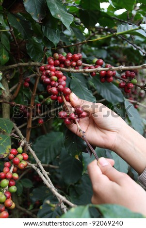 production of coffee beans harvested by hand