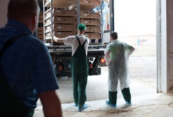 production processes at the poultry farm where adult turkeys are raised from chickens, as well as the process of transporting and unloading chickens.