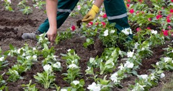 Professional gardener planting flowers in the park, detail of hands in gloves with a trowel and flower root