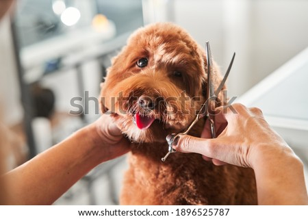 Professional groomer cut fur with scissors and clipper at the little smile dog labradoodle. Funny dog sitting at the grooming salon or vet clinic and looked trustingly