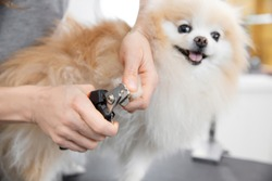 Professional groomer toenails cut little dog smiling tongue pomeranian spitz.