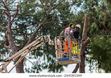 professional lumberjack cuts trunks on the top of a big tree with a chainsaw