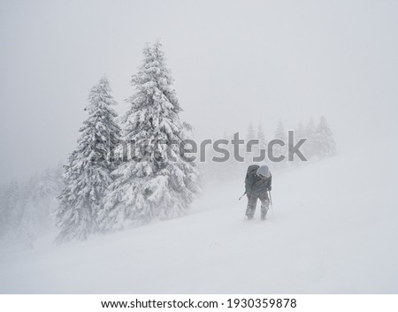 professional photographer with backpack going across coniferous forest during severe snow storm, Ciucas mountains, Romania Foto stock ©