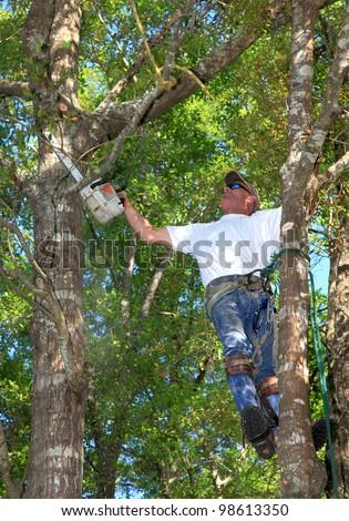 Professional Tree Man Trimming Oak Tree - stock photo