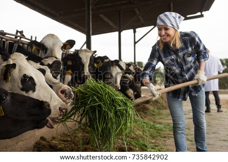 professional Young woman taking care of cows in cows barn