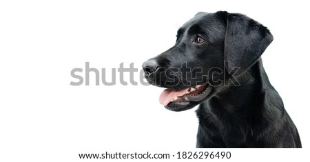 Photo of  Profile black labrador puppy dog, Isolated on white background.