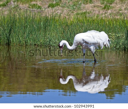 Profile close up image of a Whooping Crane in the water, with reflection.