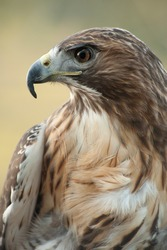 Profile close up of Red Tail Hawk