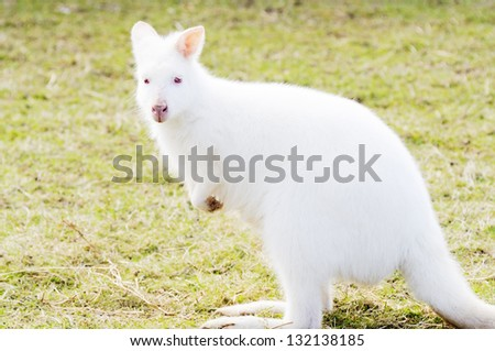Profile closeup of albino white wallaby with red eyes