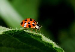 profile, harlequin ladybird