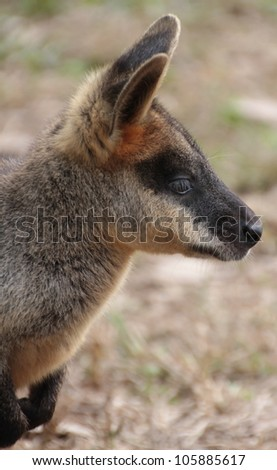 Profile head shot of a small Australian Wallaby #105885617