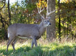 Profile image of a whitetail deer buck in autumn rut