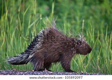 Profile image of a young porcupine walking along the side of the road.