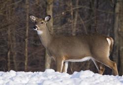 Profile image of an alert, whitetail deer doe, standing in deep snow.  Winter in Wisconsin.