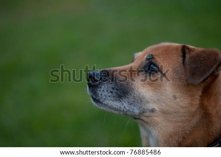 profile image of mature canine looking up. Shows the gray fur on the face and grass in the background