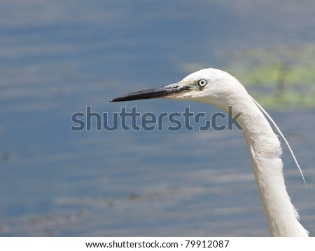 Profile Little Egret, Egretta garzetta - stock photo