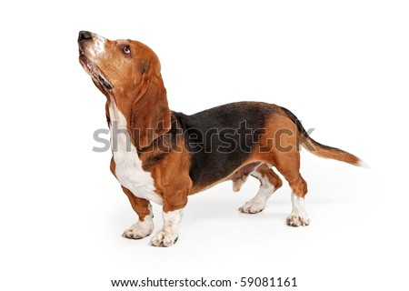 Profile of a Basset Hound dog looking up isolated on white