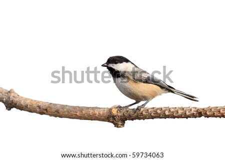 profile of a black-capped chickadee perched on a branch; white background