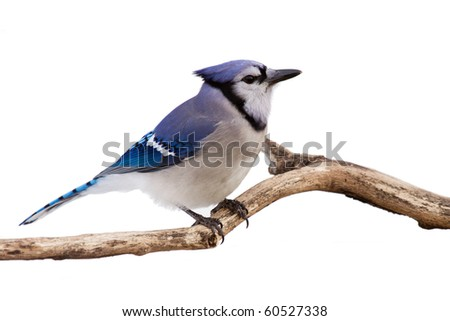 profile of a bluejay perched in branch; white background