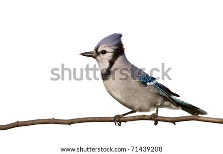 profile of a bluejay proudly perched on a branch,  crown of head feathers displayed with silver breast prominent; white background