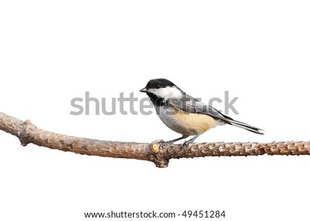profile of a chickadee at rest while it scans the forest; white background