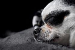Profile of a chihuahua dog