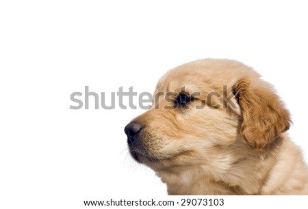 white golden retriever lab mix. Found-light yellow lab mix